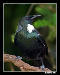 New Zealand Songbird - The Tui by carterr