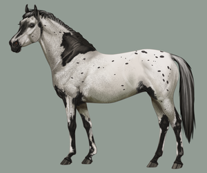 Appaloosa adoptable - CLOSED Flat price by BH-Stables