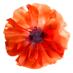 Sheer Ranunculus PNG by Bunny-with-Camera