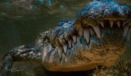 Jaws. Saltwater Crocodile by Vitaly-Sokol