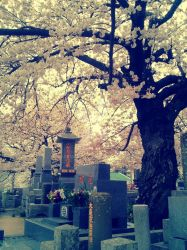 Blossoms in the graveyard by 4eknight11