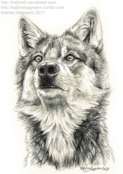 Another wolf study by KatrineH