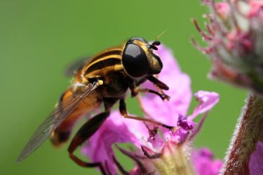 Hoverfly by PassionAndTheCamera
