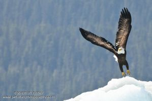 Ice Eagle by JWFisher