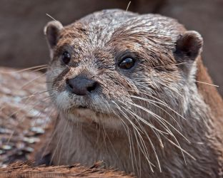 Asian Small-Clawed Otter 0879 by robbobert
