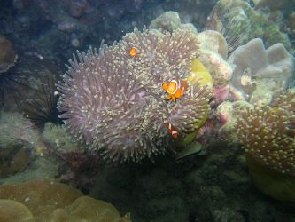 Clownfish by Michel8170