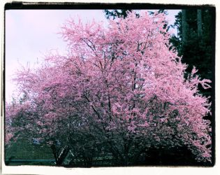 Cherry Blossom cross process by infin8yquest