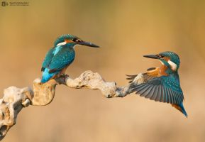 Kingfisher games by BogdanBoev