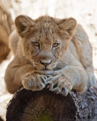 Lion Cub 0129 by robbobert