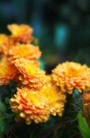 Orange Bloom by PixiePoxPhotography