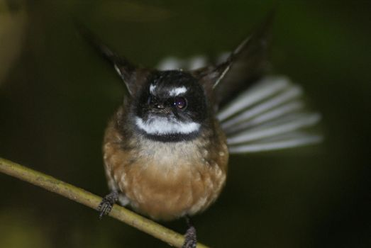 Fantail by AndersonRhys