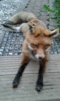 SOLD european red fox soft mount by OinaWarrior-LoonaIto