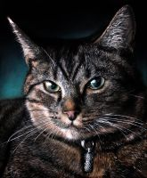 'Ruby' my cat by arcitenens