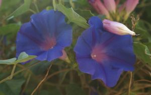 BLUE FLOWERS by JUET