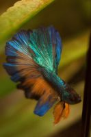 Gold and Turquoise Halfmoon by EmeraldRosepetal