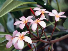 frangipani flowers by antonia7