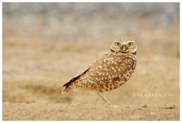 Burrowing Owl by Raymaker