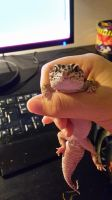 look at my gecko by chlckenbutt