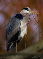 Perched Heron by Mincingyoda