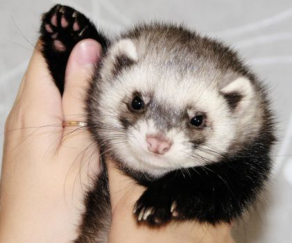 Who is in favor of saving ferrets? by Panda-kiddie