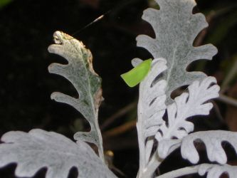 leafhopper on dusty miller by k0scist