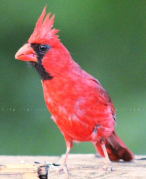 cardinal by ali-is-colourful