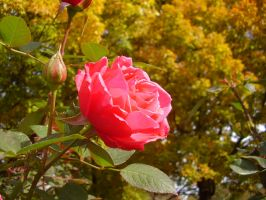 Red Rose by MillyT