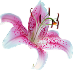 UNRESTRICTED - Lily Flower PNG by frozenstocks
