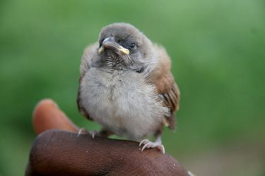 young sparrow by steeerne