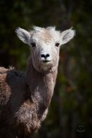 Bighorn sheep-Lamb by JestePhotography