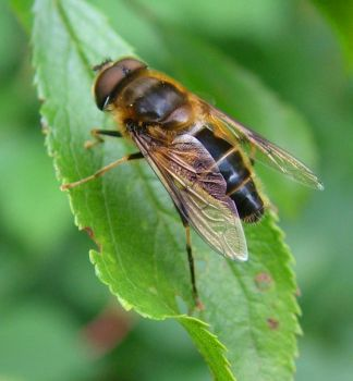 Hover fly on leaf by doctorbanana