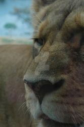 Lioness 01 by MindfullyArtistic