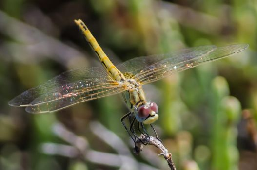 yellow clubtail dragonfly by crusher9001