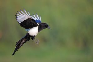 Magpie vs 4002.8 and 5DmkII by phalalcrocorax