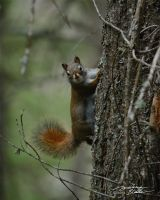 Squirrel on fir tree 1 by themanitou