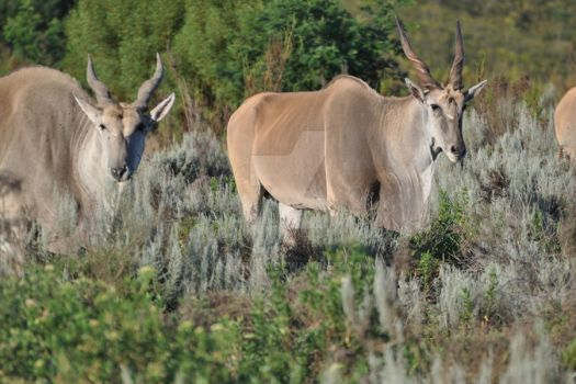 Eland - The Largest African Antelope by DarkBinx