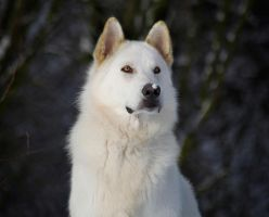 Northern Inuit Dog 1 by genisisone