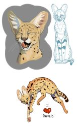 Servals-Study by Simatra