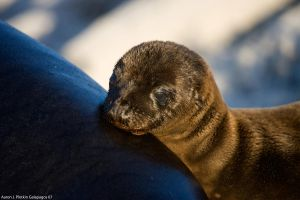 Baby Sea Lion On Mommy by photoboy1002001