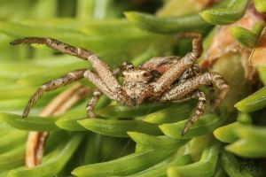 Crab spider (Xysticus kochi) by Azph