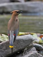 Waxwing by mydigitalmind
