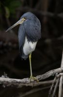 A Tri-Colored Heron by kl61