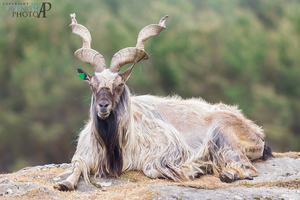 Portrait of a Markhor. by Ravenith