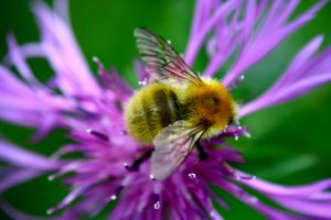 cosmic bumble bee by melolonta
