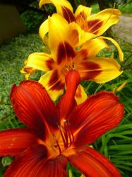 Day lily by GhostmasterJay