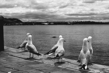 Family of Seagulls by Cappuccino8