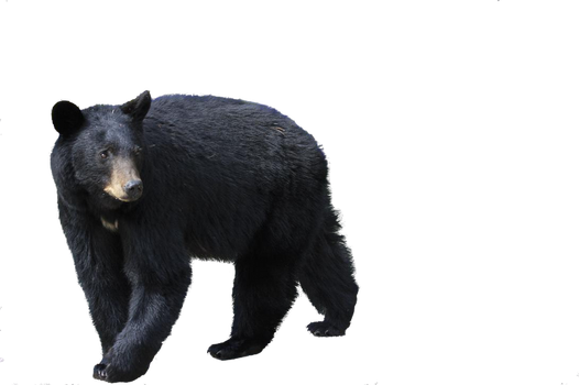 bear png by camelfobia