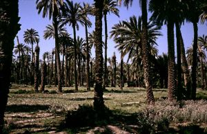 Date Grove in Elche - Prov. Alicante - Spain by Woscha