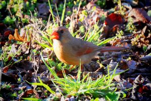 Female Cardinal? by Tailgun2009