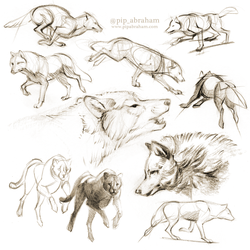 Wolf sketches by oxpecker